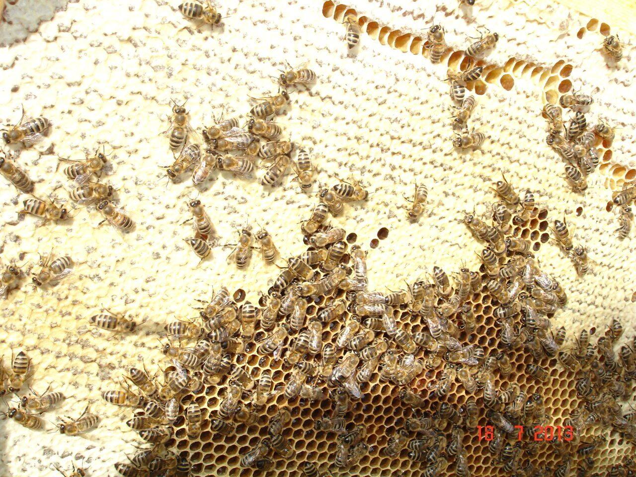 Разные, купить пчелопакет у цебро